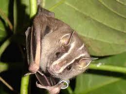 """Conferência - """"O Que Nos Contam os Morcegos?"""""""