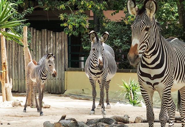zebra-grevy-topo1-zoo